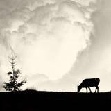 Nuvole lattee - siluetta sola del pino e della mucca sul porcile d'annata del film Immagine Stock