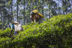 NUWARA ELIYA, SRI LANKA - DECEMBER 02: Female tea picker in tea Royalty Free Stock Photos