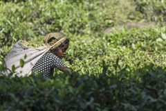 NUWARA ELIYA, SRI LANKA - DECEMBER 02: Female tea picker in tea Royalty Free Stock Photo