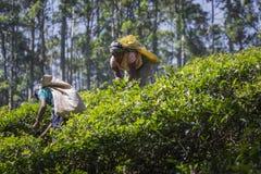 NUWARA ELIYA SRI LANKA, GRUDZIEŃ, - 02: Żeński herbaciany zbieracz w herbacie Zdjęcia Royalty Free