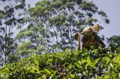 NUWARA ELIYA SRI LANKA, GRUDZIEŃ, - 02: Żeński herbaciany zbieracz w herbacie Obraz Stock