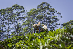 NUWARA ELIYA SRI LANKA, GRUDZIEŃ, - 02: Żeński herbaciany zbieracz w herbacie Fotografia Royalty Free
