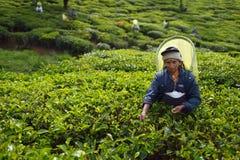 Nuwara Eliya, Sri Lanka, il 13 novembre 2015: Donna più anziana che raccoglie tè sulla piantagione Fotografia Stock