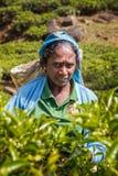Picker collects tea leaves mountain plantation. Nuwara Eliya, Sri Lanka - January 8, 2018. Picker collects tea leaves mountain plantation on a sunny day Royalty Free Stock Images