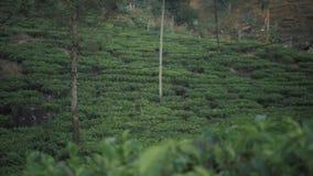 NUWARA ELIYA, SRI LANKA - JANUARY 15 2017 : tea plantation in . Directly and indirectly, over one million Sri Lankans stock video