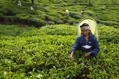 Nuwara Eliya, Sri Lanka, le 13 novembre 2015 : Une femme plus âgée rassemblant le thé sur la plantation Photographie stock