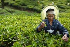 Nuwara Eliya, Sri Lanka, le 13 novembre 2015 : Une femme plus âgée rassemblant le thé sur la plantation Photos stock