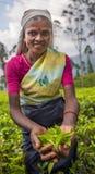 NUWARA ELIYA SRI LANKA, Luty, -, 9, 2016: Herbaciani zbieracze Zdjęcie Royalty Free