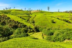 Nuwara Eliya tea plantation Royalty Free Stock Photo