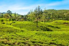Nuwara Eliya tea plantation Royalty Free Stock Images