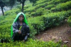 Raccolto del tè in montagne dello Sri Lanka Fotografia Stock
