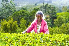 Female worker at the harvest in the tea fields. NUWARELIA, SRI LANKA - AUGUST 14: harvest in the tea fields, tea picker in the highlands is picking tea on 14 stock photography