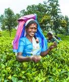 Teapluckeren i teaen sätter in i högland nära Nuwara Eliya, Sri Lanka Royaltyfri Foto
