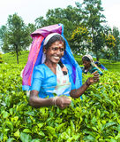 Herbaciana skubarka w herbat polach w średniogórzach zbliża Nuwara Eliya, Sri Lanka Zdjęcie Royalty Free