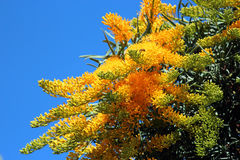 Nuytsia Floribunda -Australian Christmas Tree. A hemi-parasite, this attractive orange flowered plant  uses other trees as a host, splashing its scented blooms Stock Images