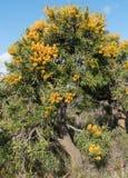 Nuytsiafloribunda, Fitzgerald flodnationalpark, västra Aust Arkivbilder