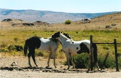 The Nuzzle. Two horses on the hills in Okanogan, WA nuzzle each other on a warm spring day royalty free stock photo