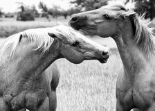 Nuzzling de deux chevaux images libres de droits