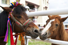 Nuzzling Through the Fence. A young colt nuzzles with a colorfully dressed Tibetan racehorse in China Royalty Free Stock Images