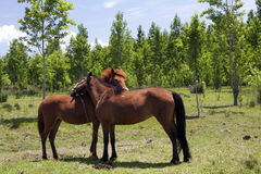 Nuzzling Horses Royalty Free Stock Photo