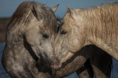 Nuzzling horses. Two stallions sharing a nuzzle moment in the marshes of the Camargue in the south of France royalty free stock image