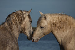 Nuzzling stallions, Camargue, France Stock Images