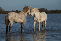 Nuzzling stallions. Two stallions in the marshes of the camargue in southern france royalty free stock photography