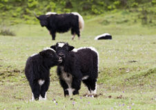 Nuzzling Yak Calves Stock Photos