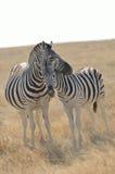 Nuzzling Zebras Stock Image