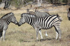 Nuzzling Zebras. Two zebras display affection for each other in Botswana, Africa while a small white bird watches Stock Photos