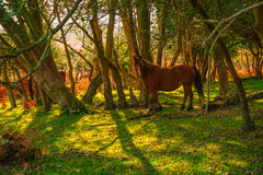 Nw Forest Ponies Stock Images