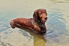 Red Irish setter cools down after a long walk. stock image