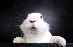 NWhite rabbit on the black background in the studio Stock Photo