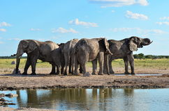 Elephants from Nxai pan in Botswana. Nxai pan in Botswana in wet season Royalty Free Stock Photography