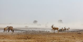 Nxai Pan NP dusty waterhole Royalty Free Stock Photos