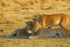Big pride of lions having a loving time. The Nxai Pan pride of Botswana walking across the wilderness to the waterhole to drink in this hot weather royalty free stock photography