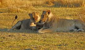 Big pride of lions having a loving time. The Nxai Pan pride of Botswana walking across the wilderness to the waterhole to drink in this hot weather royalty free stock image