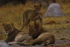 Big pride of lions looking at our safari party. The Nxai Pan pride of Botswana walking across the wilderness to the waterhole to drink in this hot weather royalty free stock image
