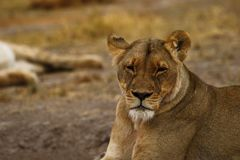 Big pride of lions looking at by our safari party. The Nxai Pan pride of Botswana walking across the wilderness to the waterhole to drink in this hot weather royalty free stock image
