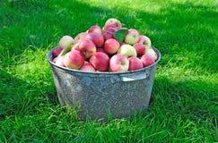 Ny äpplekantjustering som skördas i trädgården Royaltyfria Bilder