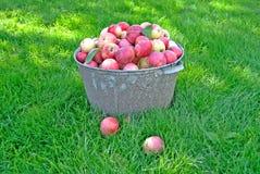 Ny äpplekantjustering som skördas i trädgården Fotografering för Bildbyråer
