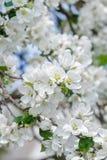 Ny äppleträdfilial i vårblom med rosa färg-whitish mjuka blommor Royaltyfri Bild