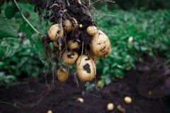 Ny åkerbruk mat för naturlig grönsak Rå grön potatis i jordningen arkivbild