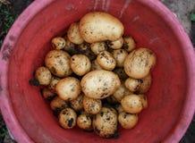 Ny åkerbruk mat för naturlig grönsak Rå grön potatis i jordningen arkivfoton