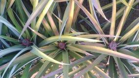 Ny ananaslantgård Chaiyaphum Thailand royaltyfri bild