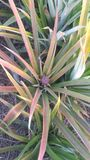 Ny ananaslantgård Chaiyaphum Thailand arkivbilder