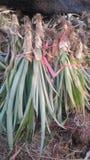 Ny ananaslantgård Chaiyaphum Thailand royaltyfria foton