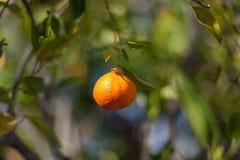Ny apelsin på träd Royaltyfria Foton