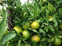 Ny apelsin på trädet i trädgården Arkivfoto
