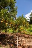 Ny apelsin på växten, orange träd. royaltyfri fotografi